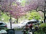 テラス席から観た八重桜-2