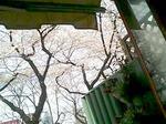 テラス席から桜をのぞむ-1