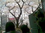 テラス席から桜をのぞむ-2