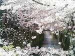 目黒川沿いの桜が満開!