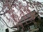 枝垂れ桜と西新井大師本堂